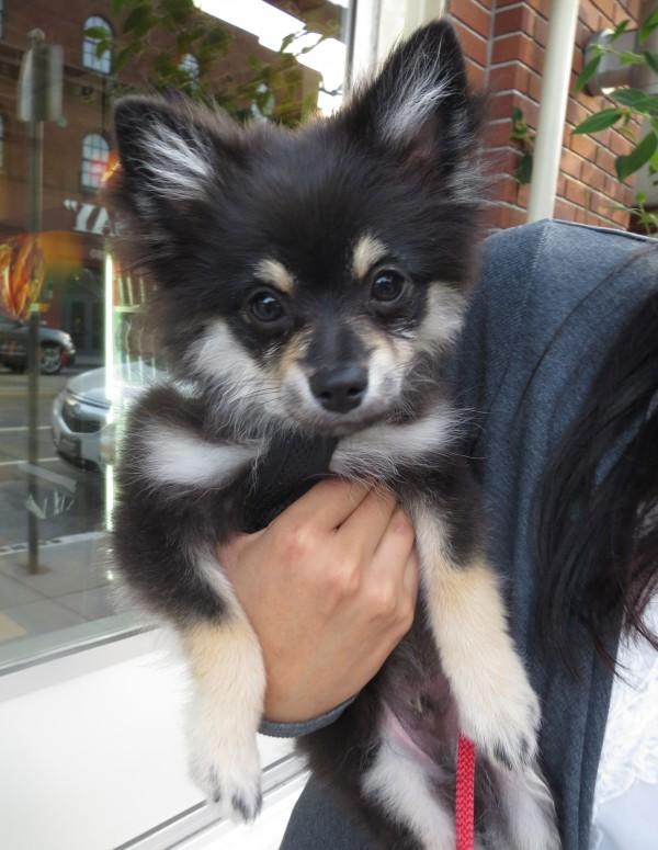 Tricolor Pomeranian Puppy