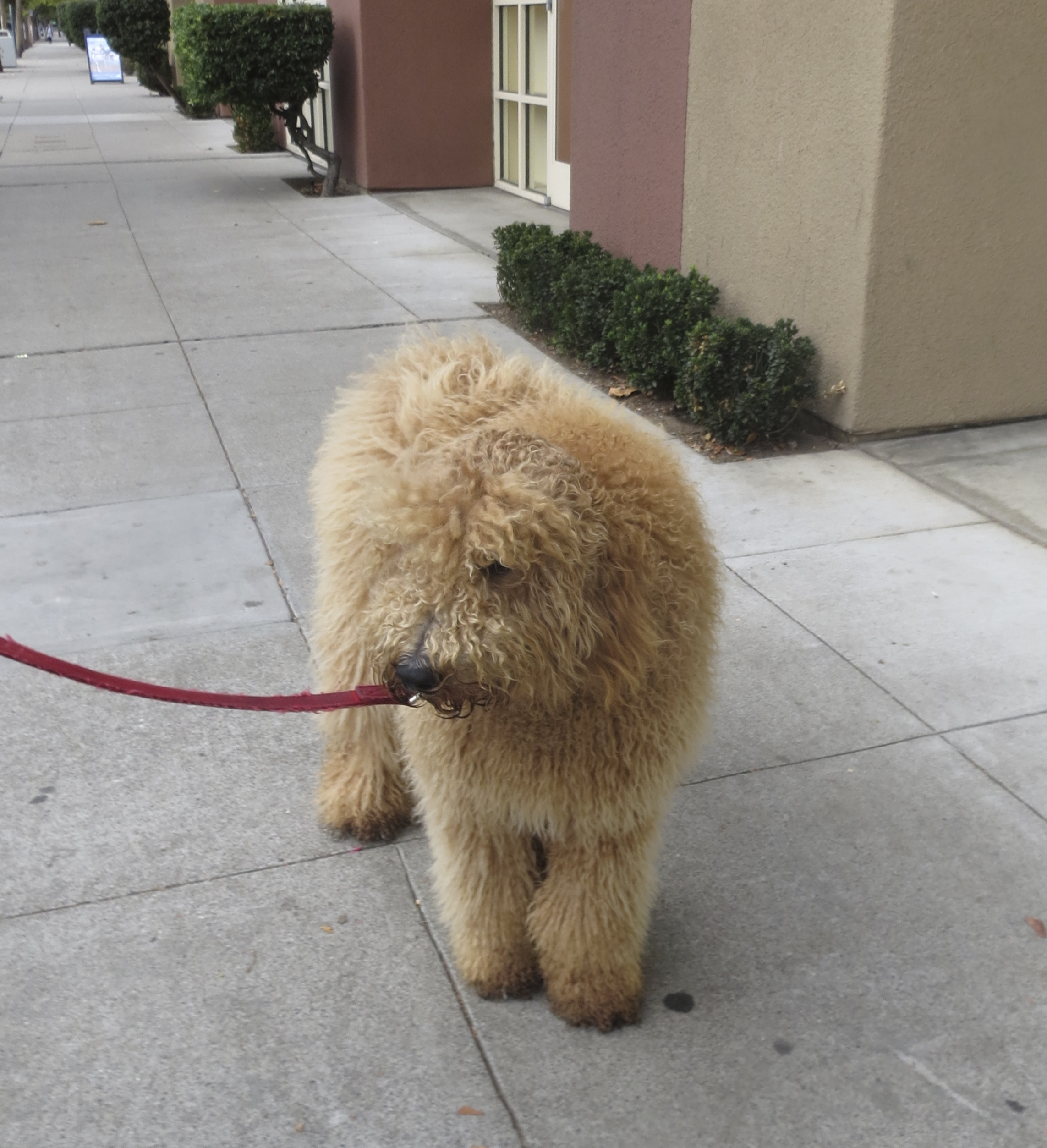 8-Month-Old Yellow Labradoodle