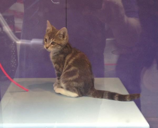 Grey Tiger Tabby Kitten