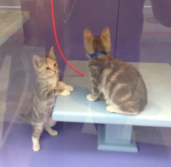 Grey Tiger Tabby Kittens