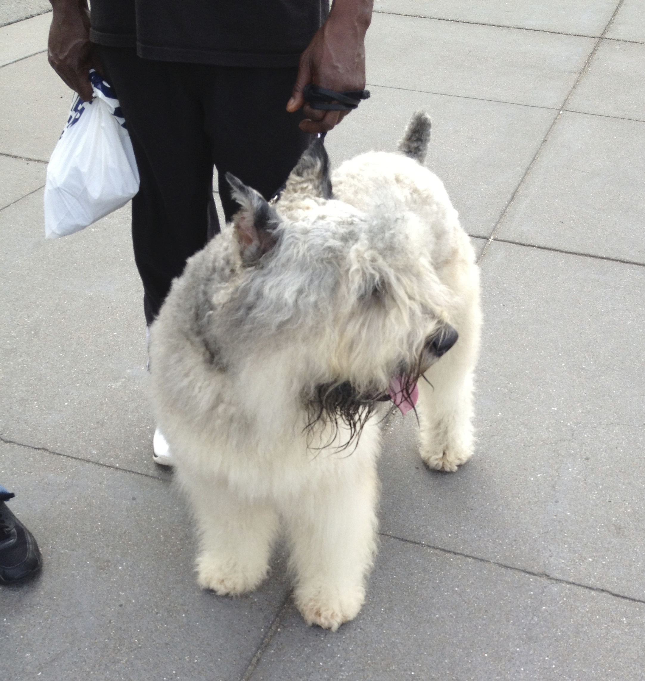 White Bouvier des Flandres with Cropped Ears