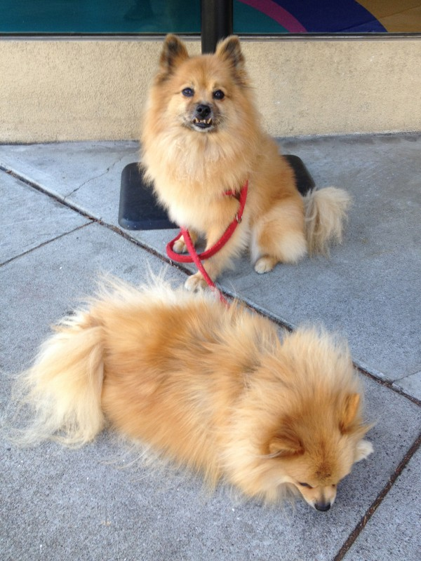 Two Orange Fluffy Pomeranians