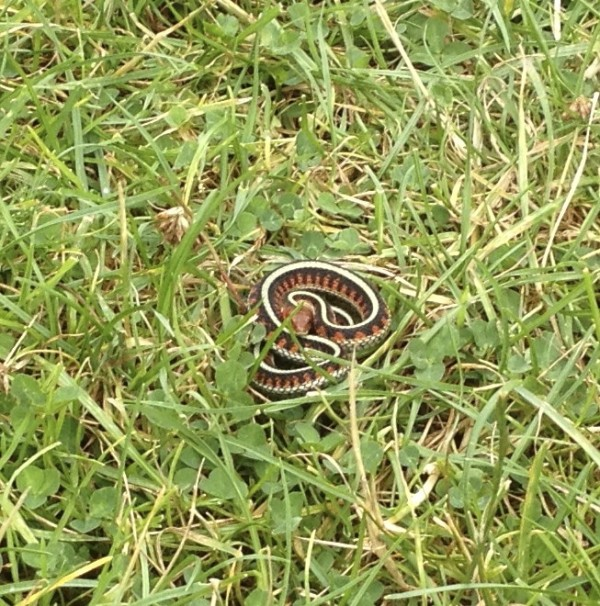 Coastal Garter Snake (Black with White Stripes and Red Triangular Markings)