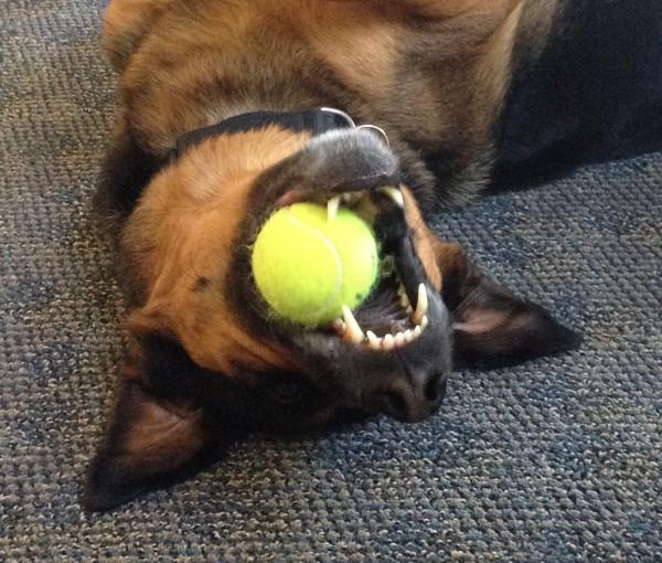 Upside Down German Shepherd Mix With Ball