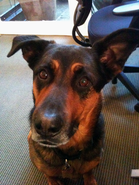 German Shepherd Mix with One Ear Up and One Ear Down