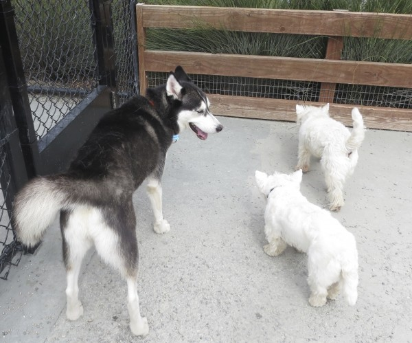 Black and White Husky and Two West Highland White Terriers