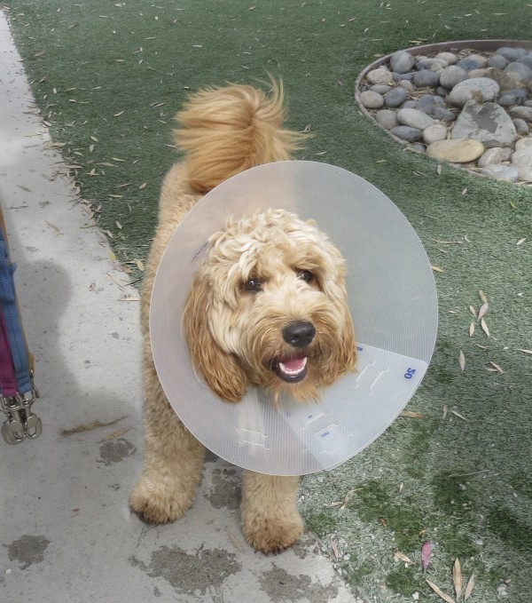 Goldendoodle (Golden Retriever/Poodle Mix) With Elizabethan Collar
