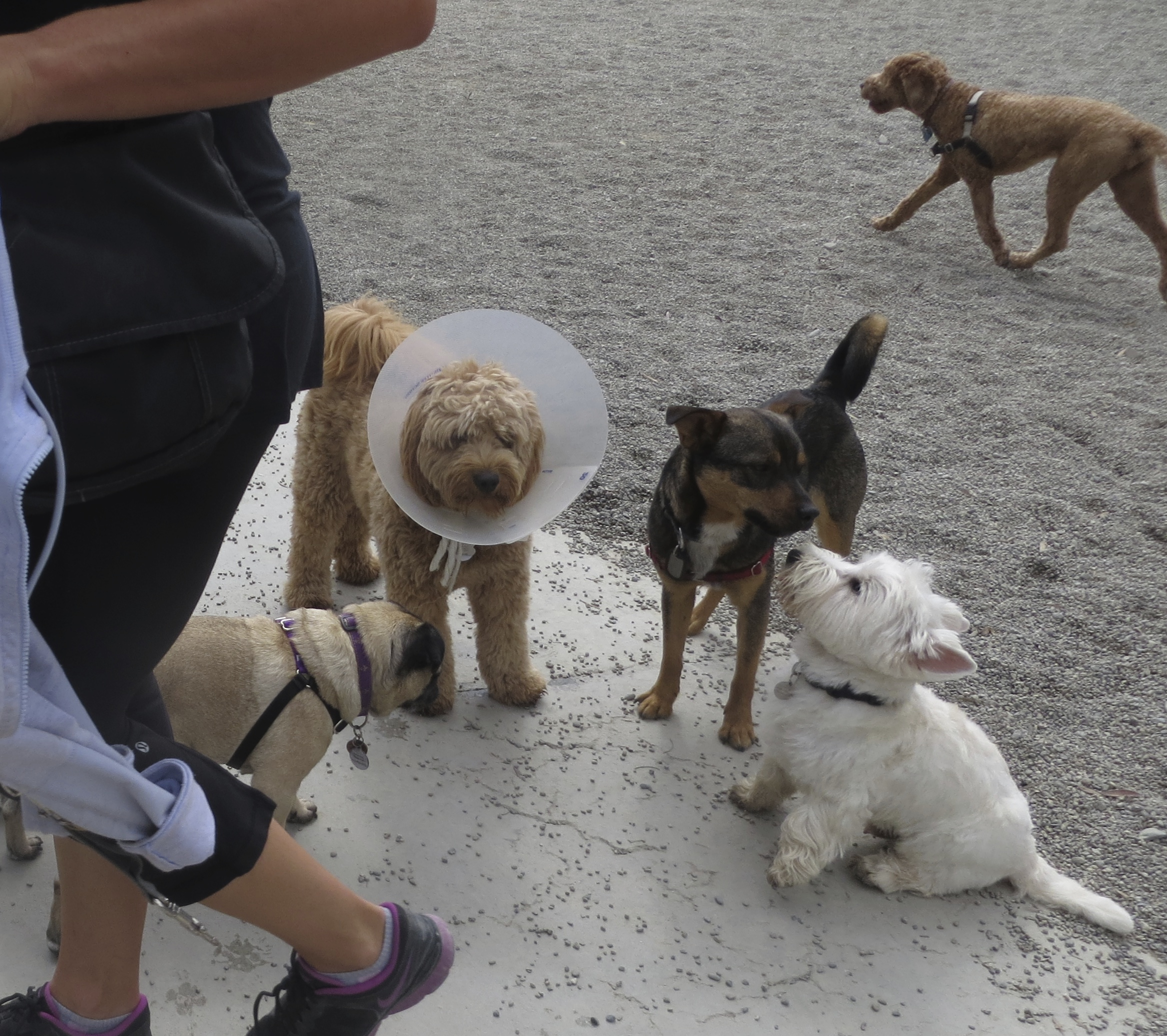 Goldendoodle in Elizabethan Collar, West Highland White Terrier, and Mixed-Breed Dog