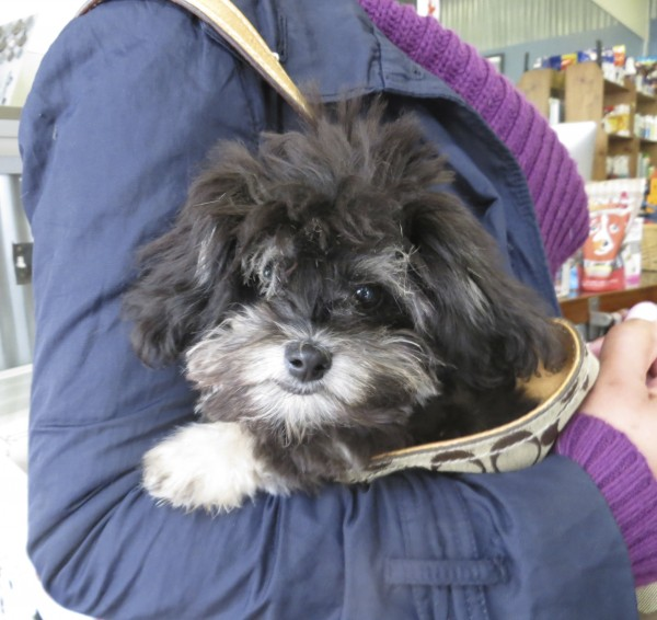 Black and Gray Pomeranian Poodle Mix Puppy