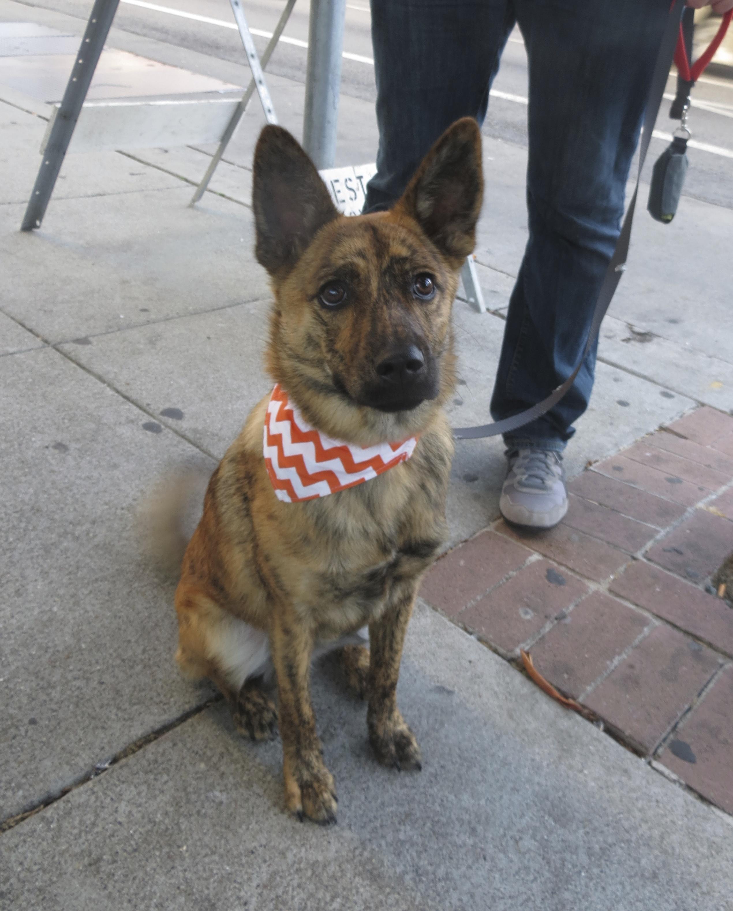 Brindled Taiwanese Street Dog