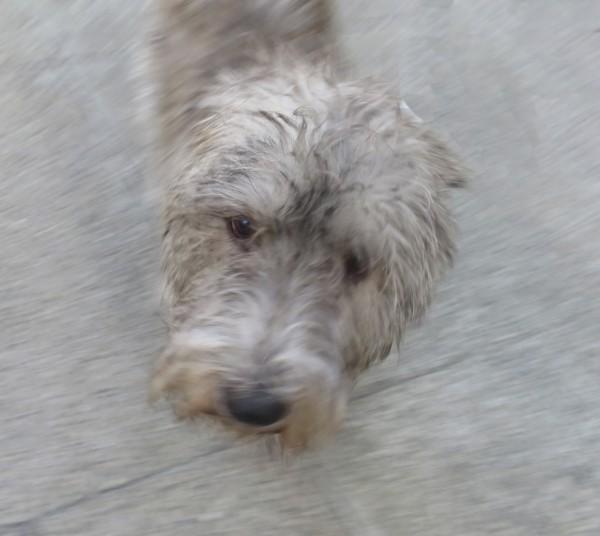 Grey Glen of Imaal Terrier
