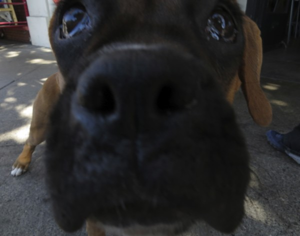 Fawn Boxer Puppy Nose