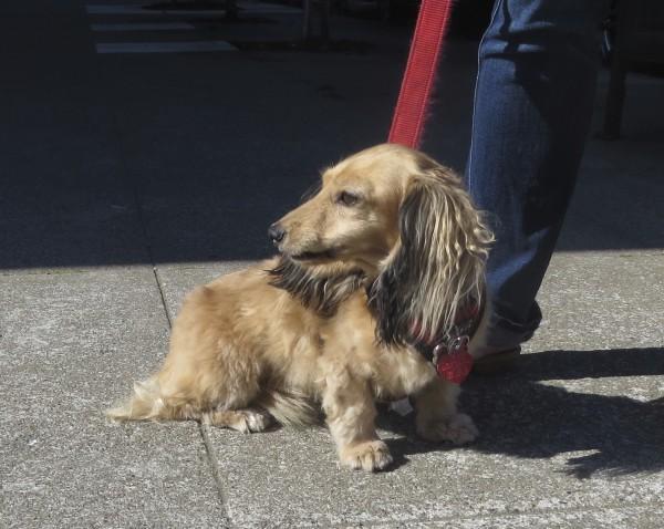 Cream Long-Haired Dachshund