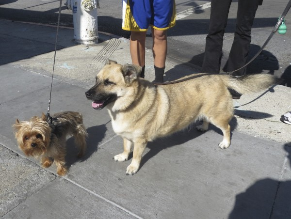 Yorkshire Terrier and Swedish Vallhund Mix