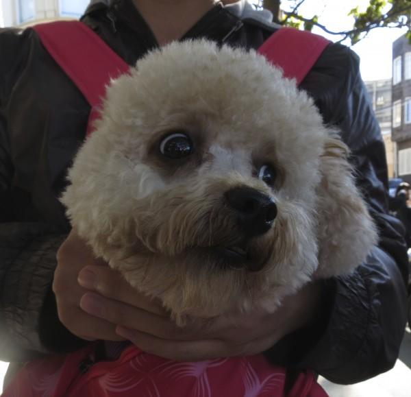 White Miniature Poodle in a Bag
