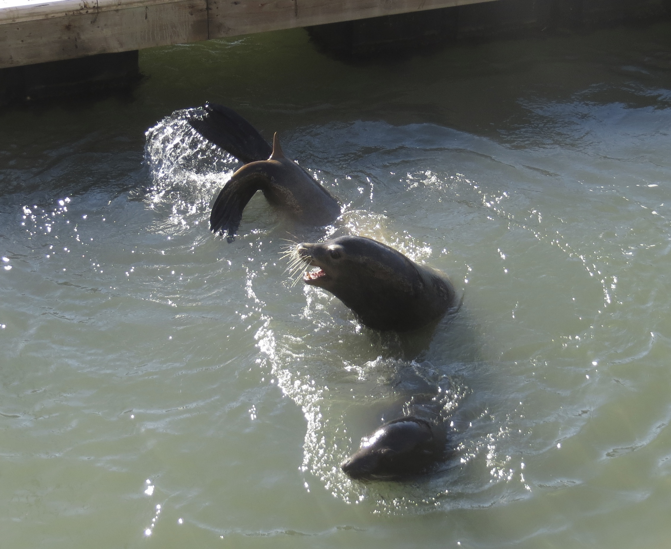 Two Sea Lions Playing in the Water