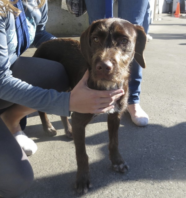 German Wirehaired Pointer/Labrador Retriever Cross