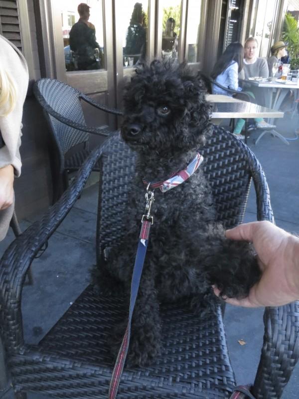 Black Labrador Retriever/Miniature Poodle Cross