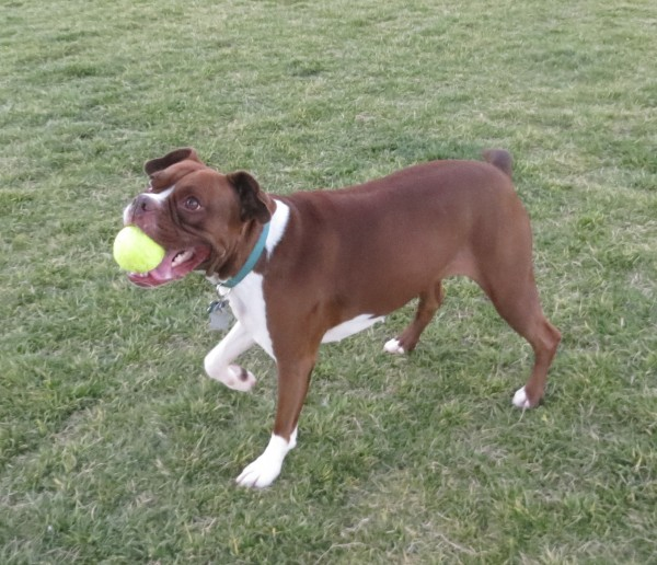 American Pit Bull Terrier/Boston Terrier/Boxer Mix With a Tennis Ball