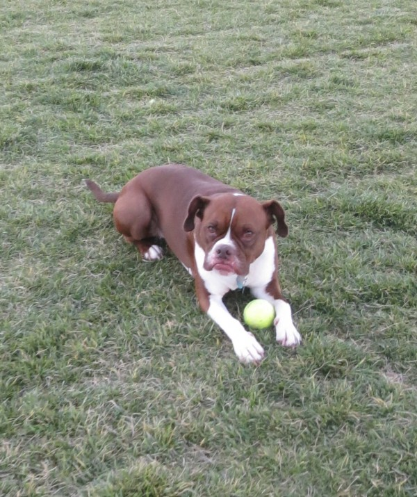 American Pit Bull Terrier/Boston Terrier/Boxer Mix With a Tennis Ball Making a Goofy Face