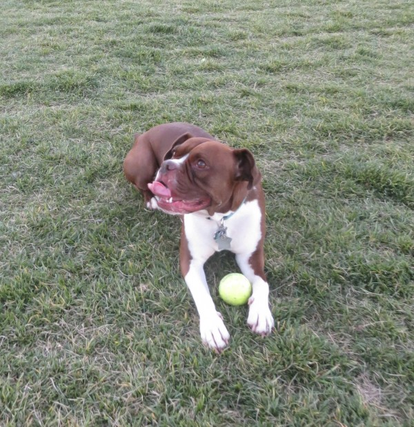 Happy American Pit Bull Terrier/Boston Terrier/Boxer Mix With a Tennis Ball