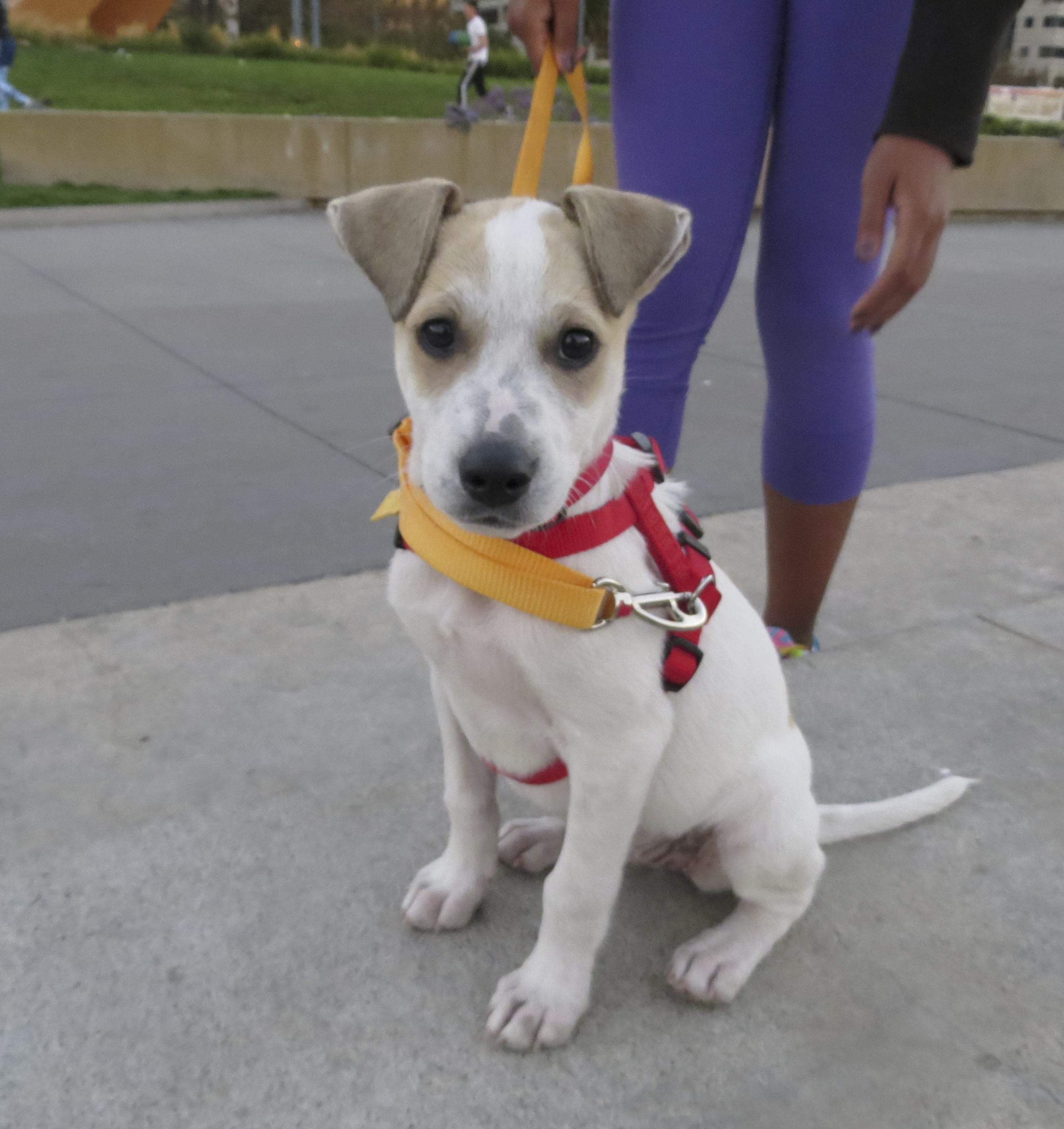 White-and-Tan Jack Russell Terrier Puppy