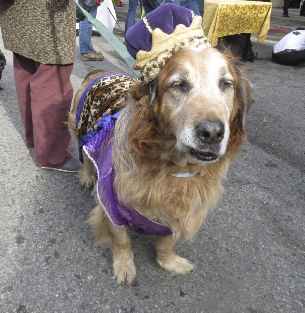Basset Hound/Australian Shepherd/Golden Retriever in a King Costume