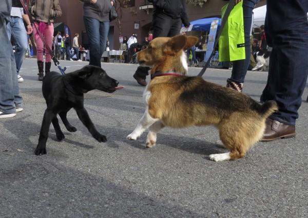 Black Labrador Retriever Puppy Sticking His Tongue Out At A Surprised Tricolor Pembroke Welsh Corgi