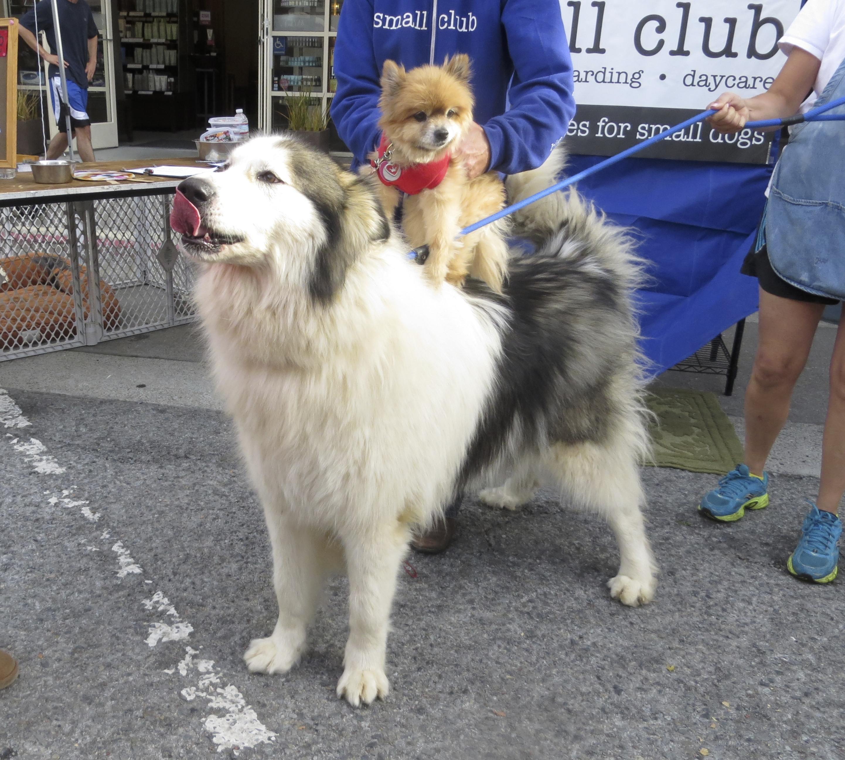 Wooly Malamute With Pomeranian on Her Back