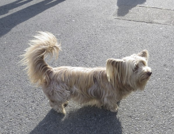Blond Skye Terrier with Blond Ears