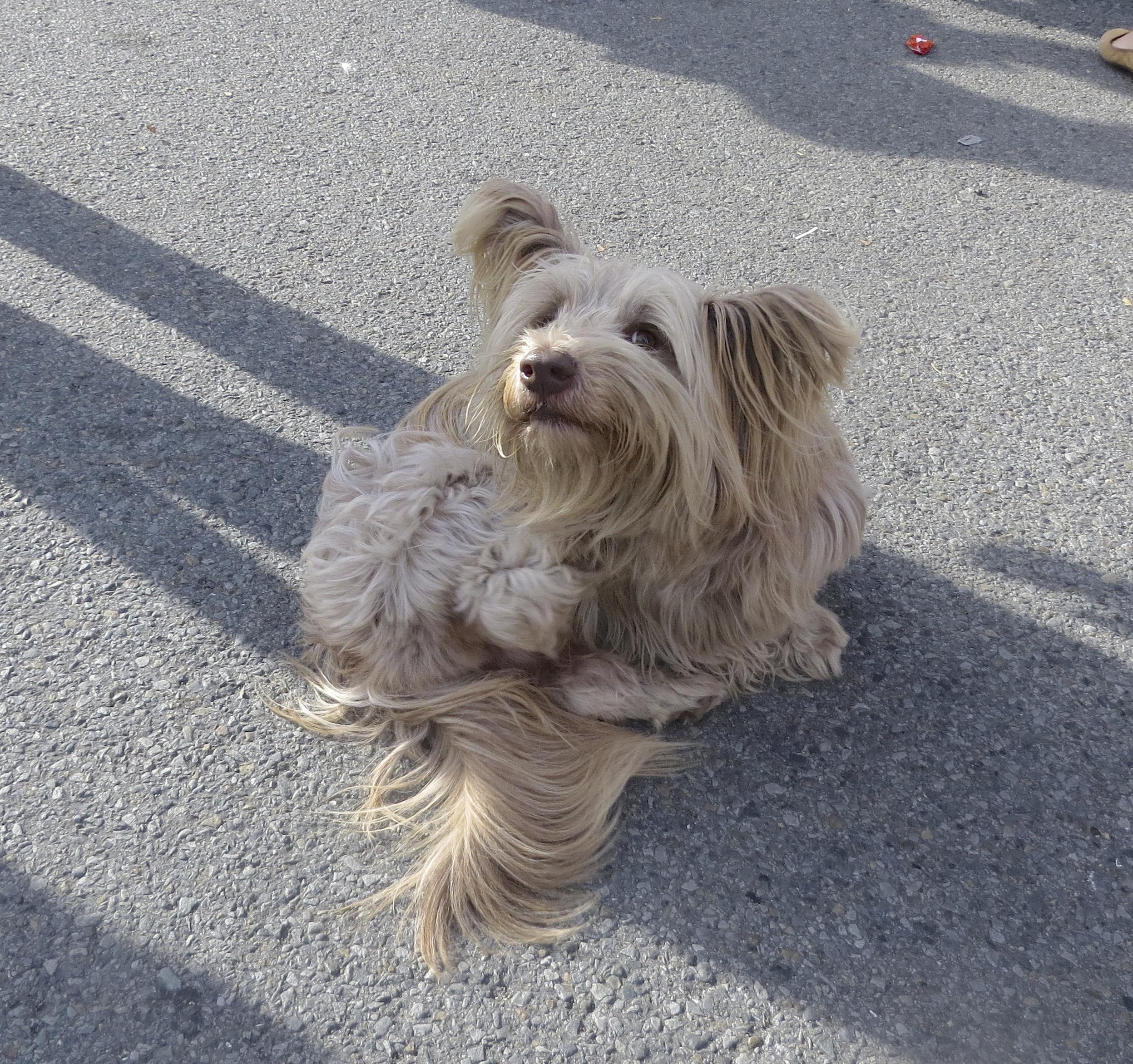 Blond Skye Terrier with Blond Ears