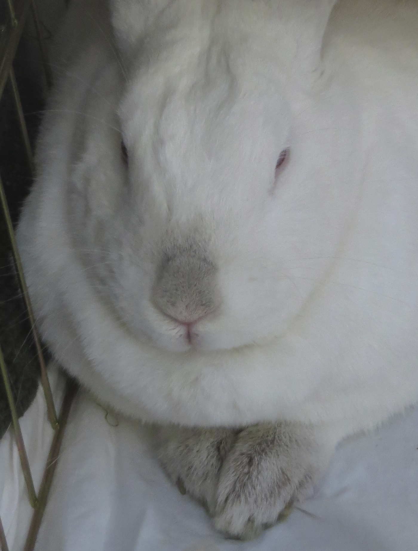White Rabbit With Grey Nose And Feet