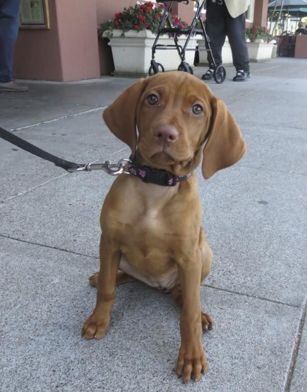 11-Week-Old Vizsla Puppy