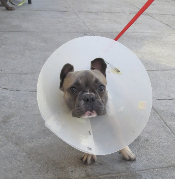 French Bulldog with Cone of Shame