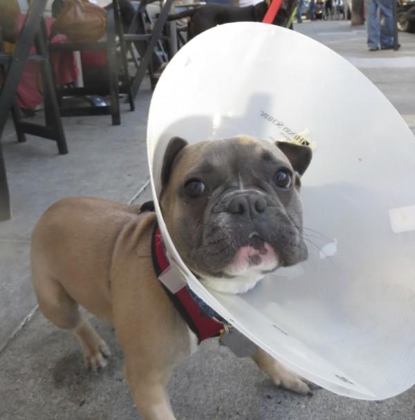 French Bulldog with Huge Elizabethan Collar