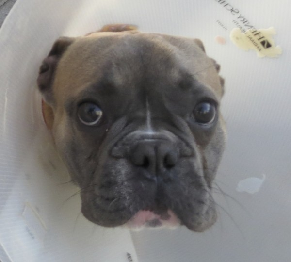 French Bulldog with Cone of Shame With Puppydog Eyes Of Doom
