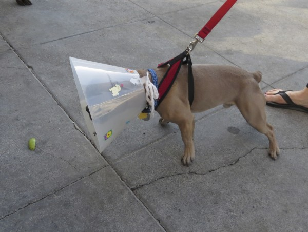 French Bulldog with Cone of Shame Examining a Lime