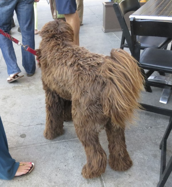 Back End of a Brown Labradoodle