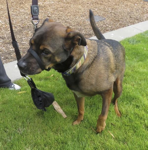 Dog of the day xavi the german shepherd pit bull mix