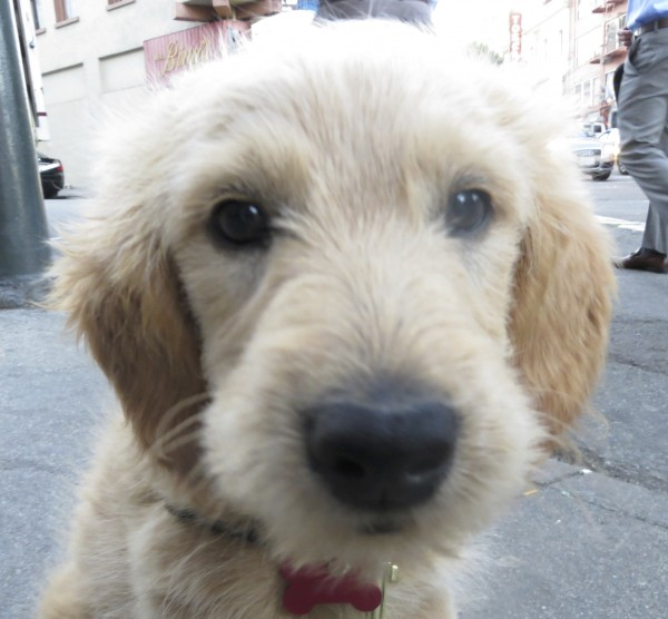 Small Fluffy Goldendoodle Puppy