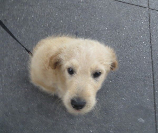 Small Fluffy Goldendoodle Puppy-Ball