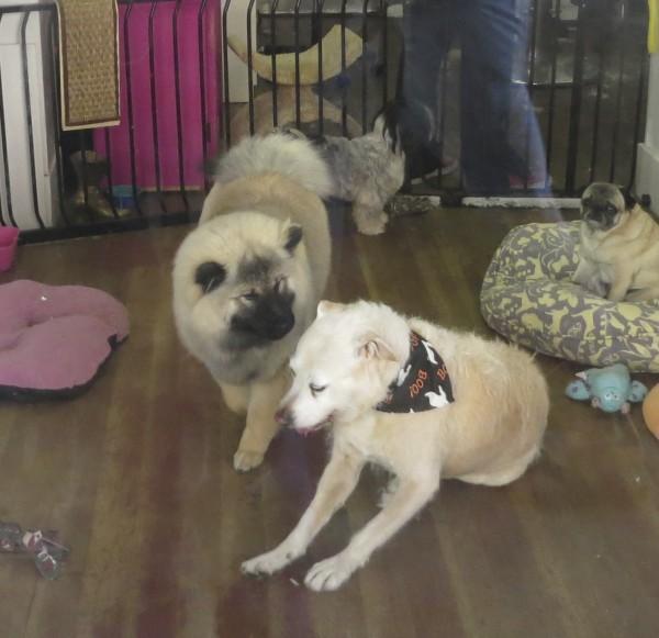 Eurasier Dog, Mixed Breed, and Pug