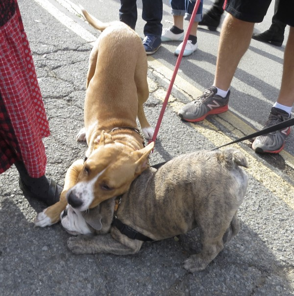 Brindle and White English Bulldog Puppy, and Tan Pit Bull Mix Play-Fighting