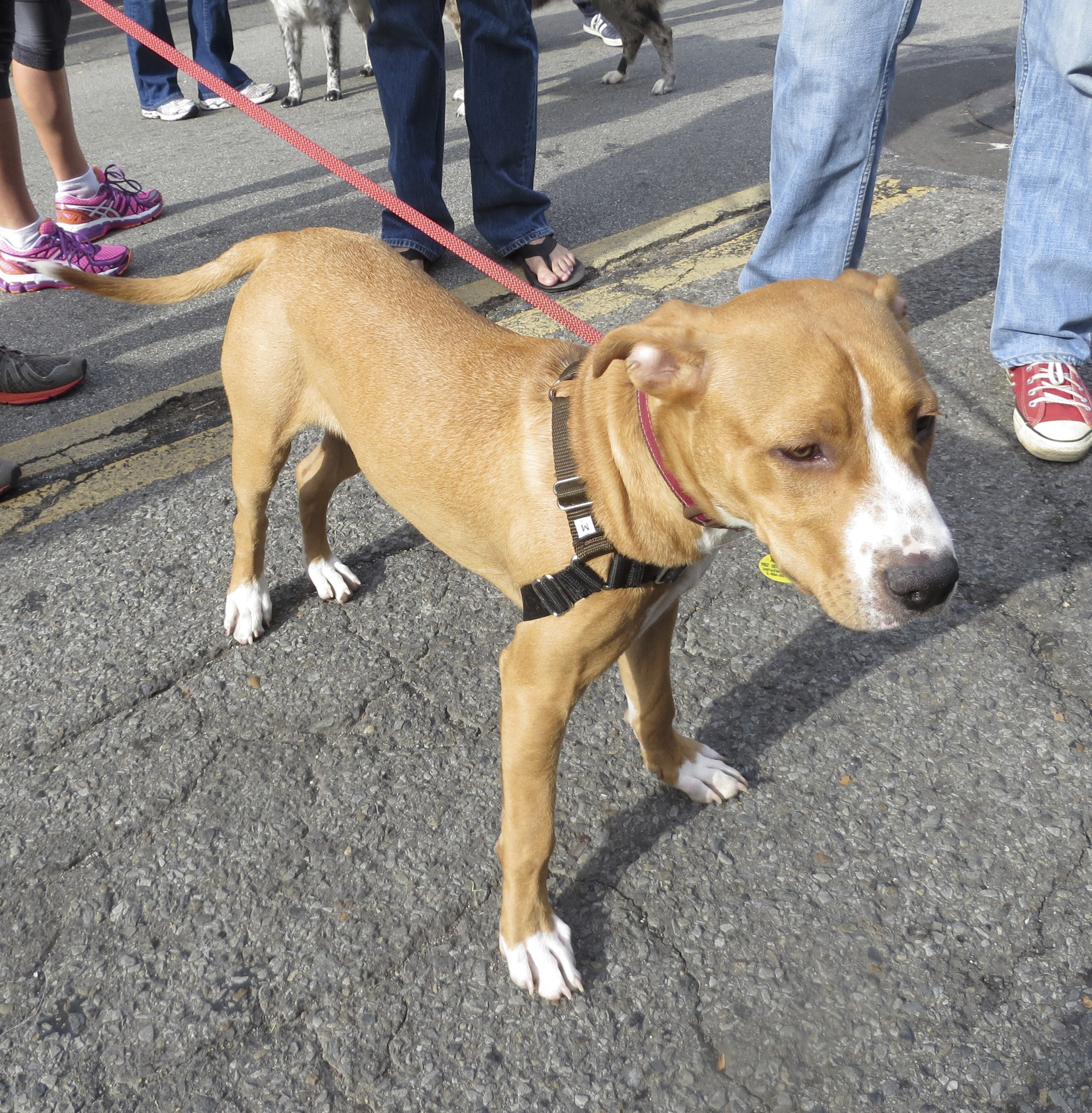 Tan and White American Pit Bull Terrier Mix