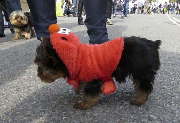Yorkshire Terrier in Elmo Costume