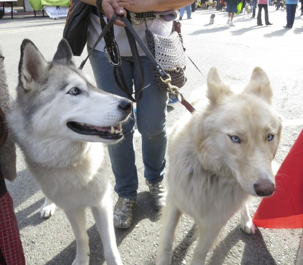 Silver-and-Whte Siberian Husky and Very Light Blonde Siberian Husky (Mix?)