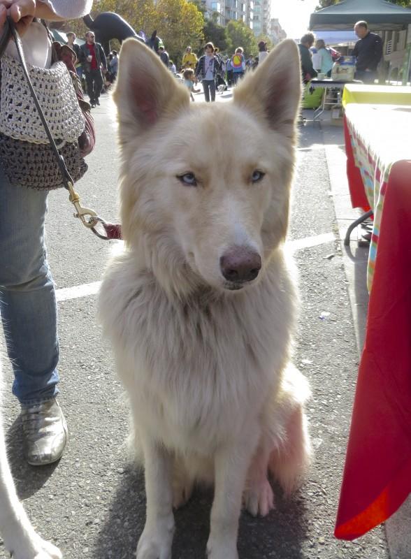 Very Light Blonde Siberian Husky (Mix?)