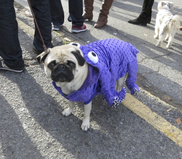 A Pug in a Purple Octopus Costume