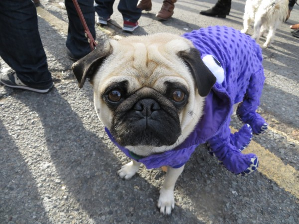 A Pug in a Purple Octopus Costume Looking Sad
