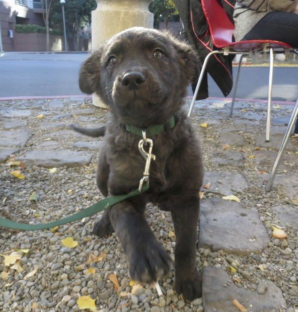 Ridiculously Adorable Black Brindled Australian Cattle Dog/Labrador Retriever Mix Puppy